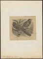 Trogon massena - 1862-1876 - Print - Iconographia Zoologica - Special Collections University of Amsterdam - UBA01 IZ16700347.tif