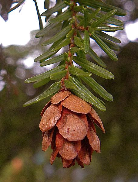 File:Tsuga heterophylla cone Mt Washington.jpg