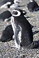 Tučňák Magellanský (Spheniscus magellanicus) - panoramio.jpg