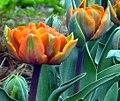 Tulips (4546245931).jpg