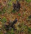 Turbera en bosque de Chonchi 02.jpg
