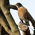 Turdus migratorius -New Castle, Delaware, USA-8.jpg