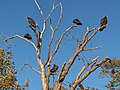 TurkeyVultures deadtree.JPG