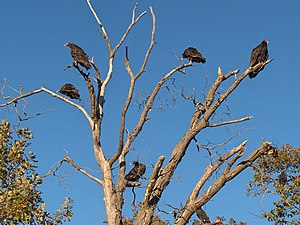 Several turkey vultures roosting in a dead tree.