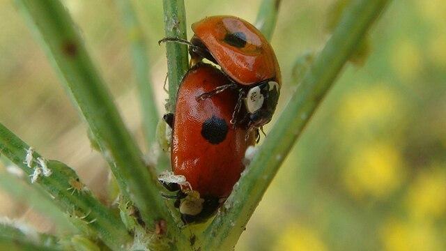 File:Two-spotted lady beetles (Adalia bipunctata) mating.JPG ...