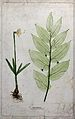 Two flowering plants, including a daffodil (Narcissus specie Wellcome V0043933.jpg