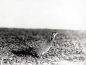 Heath hen - Live male specimen photographed ca 1909