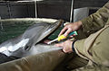 US Navy 030317-N-5319A-015 Signalman 2nd Class Diver (DV) Harlold Bickford a mammal handler from Commander Task Unit (CTU-55.4.3) brushes the teeth of a Bottle Nose Dolphin.jpg