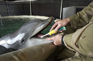 USS Gunston Hall (LSD-44) - Image: US Navy 030317 N 5319A 015 Signalman 2nd Class Diver (DV) Harlold Bickford a mammal handler from Commander Task Unit (CTU 55.4.3) brushes the teeth of a Bottle Nose Dolphin