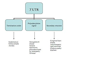 Three prime untranslated region - Diseases caused by different mutations within the 3'-UTR