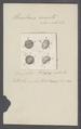 Urceolaria cincta - - Print - Iconographia Zoologica - Special Collections University of Amsterdam - UBAINV0274 113 21 0028.tif