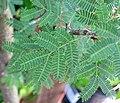 Vachellia farnesiana (sweet acacia) 3 (39039804645).jpg