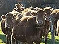 Vaches Viam Couignoux (3).jpg