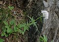 Valeriana tripteris kz04.jpg