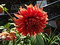 Variety of sunflower.jpg