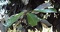 Vateria indica 03.JPG