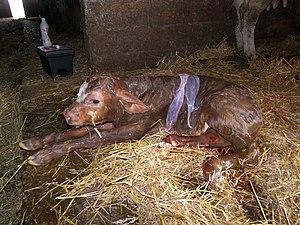 Calf - Newborn calf.