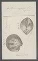 Venus rugosa - - Print - Iconographia Zoologica - Special Collections University of Amsterdam - UBAINV0274 077 12 0009.tif