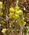 Verbascum sp. - Flickr - gailhampshire (2).jpg