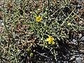 Verbascum spinosum RF.jpg