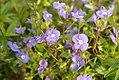 Veronica peduncularis Georgia Blue 1zz.jpg