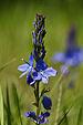Veronica prostrata subsp. scheereri (inflorescense).jpg
