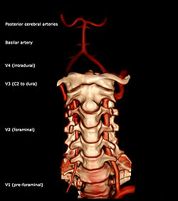 Cervical Spine Artery Diagram - House Wiring Diagram Symbols •