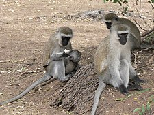 Vervet Monkeys in Samburu.jpg