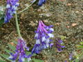 Vicia cracca 2.jpg