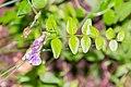 Vicia sepium in Aveyron (5).jpg