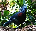 Victoria Crowned Pigeon CentralPark Zoo.jpg
