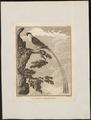 Vidua regia - 1700-1880 - Print - Iconographia Zoologica - Special Collections University of Amsterdam - UBA01 IZ15900095.tif