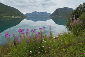 View to Sifjorden from Sifjord, Senja, Troms, Norway in 2014 August.jpg