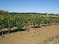 Vignoble à Cahuzac-sur-Vère.jpg