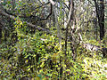 Vincetoxicum rossicum SCA-05089.jpg