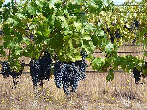 Judgment of Paris (wine) - Cabernet Sauvignon grapes from Ridge's Monte Bello vineyard.