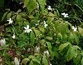 Viola cornuta alba Pygmaea - Flickr - peganum.jpg