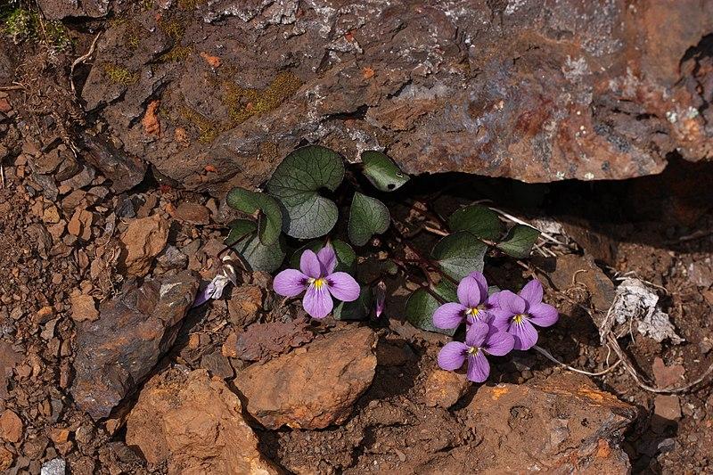 File:Viola flettii 4817.JPG
