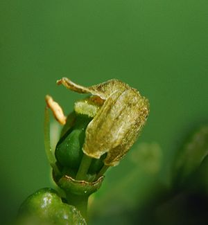 Annual growth cycle of grapevines - The calyptra is shed and pollen is transferred from the anthers to the stigma fertilizing the flower.