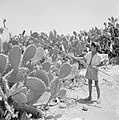 Vruchten van de sabrecactus worden geoogst, Bestanddeelnr 255-4294.jpg