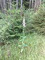 Vylet na Ostry, Sumava - 9 cervenec 2011 213.jpg