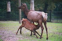 Photograph of a female elk nursing her calf