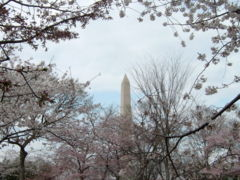 Image: Washington Monument cherry blossoms.jpg (row: 2 column: 1 )