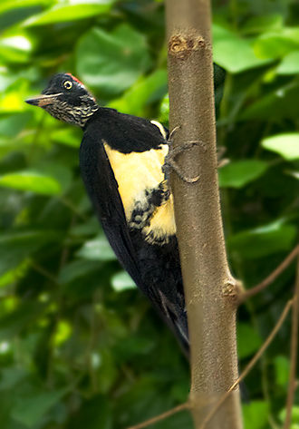 White-bellied woodpecker - Male, Philippines