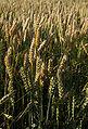 Weizen teigreife IMGP6647.jpg