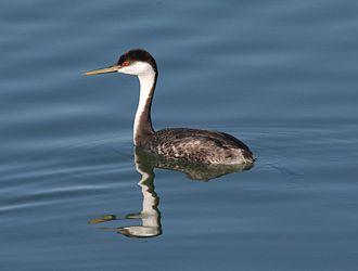 Western grebe - Image: Western Grebe swimming
