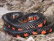 Western Mud Snake.jpg