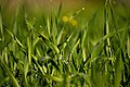 Wheat (Triticum) grass D35 2330 01.jpg