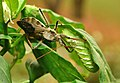 Wheel bug nails a hornworm on one of my jalapeno bushes. (6237542551).jpg