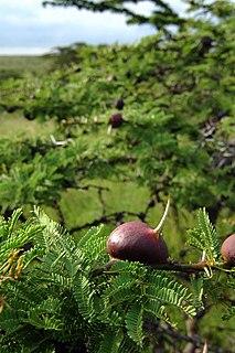 <i>Vachellia drepanolobium</i> species of plant